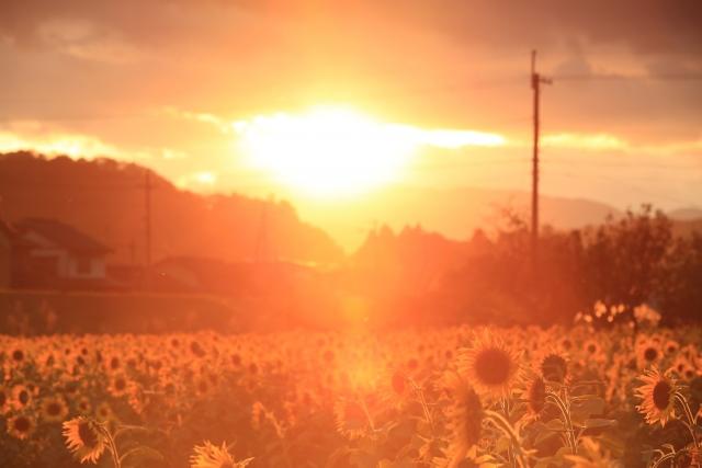 日高町上郷のひまわり畑