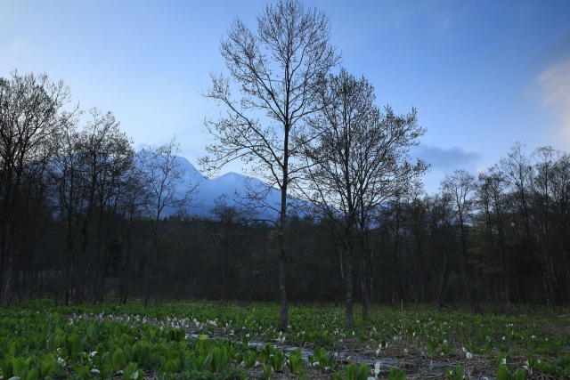 【2014/5/3撮影】湿地に咲く水芭蕉