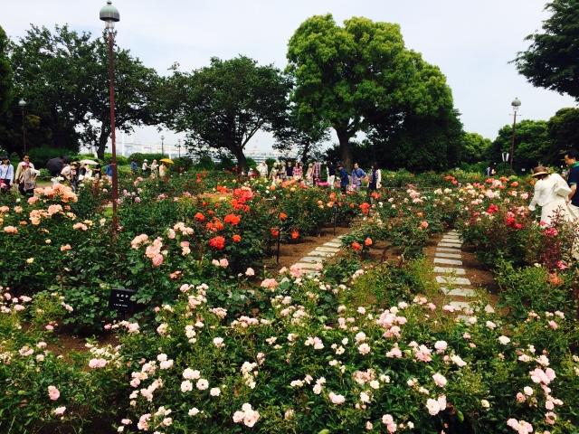 たくさんの種類のバラが咲いています。