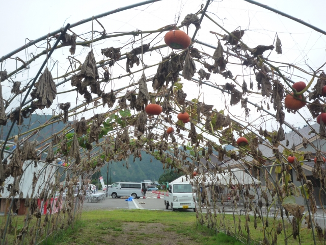 駐車場わきで赤かぼちゃが栽培されていました。