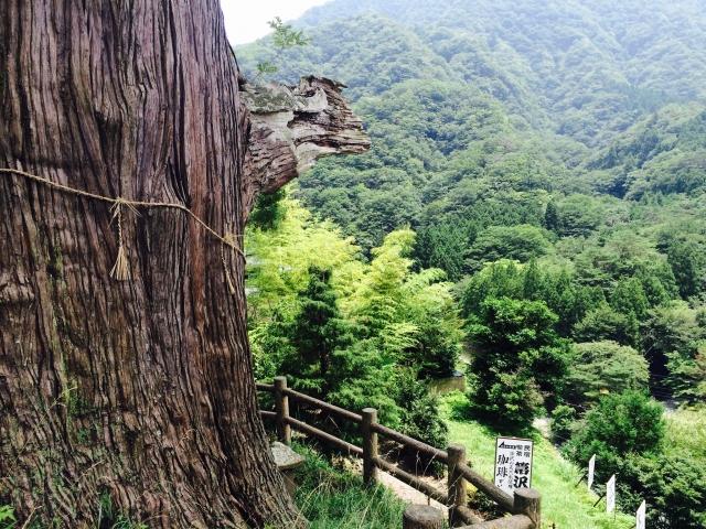 中川のほうきスギ
