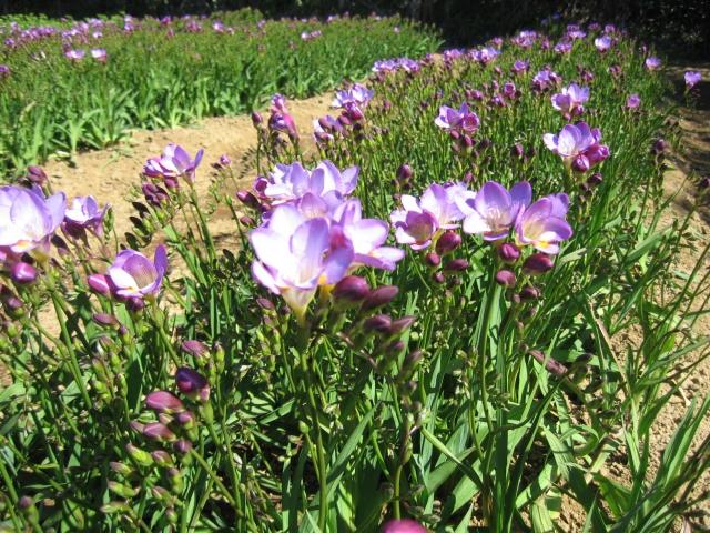 紫色のフリージア