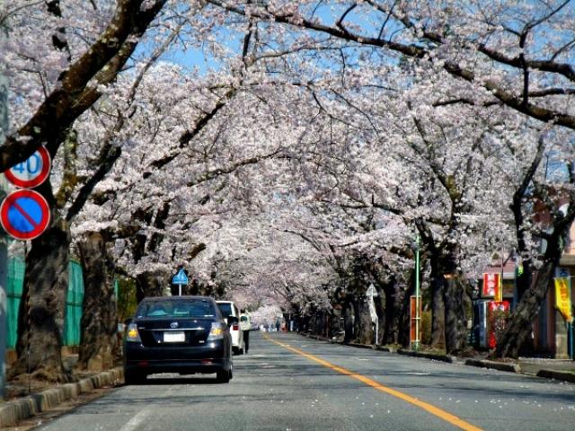 夜ノ森 桜並木