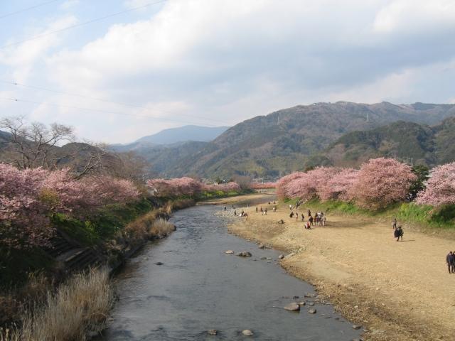 河津桜と川