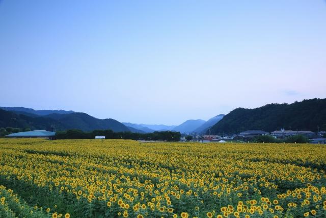 東徳久ひまわり畑
