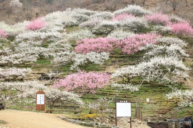 【2014/3/29撮影】梅園
