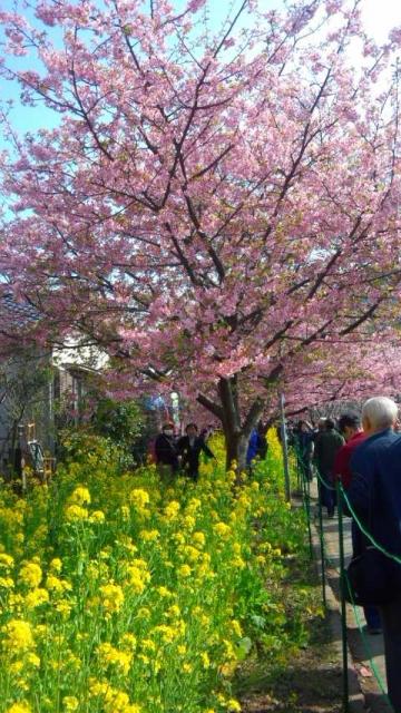 河津桜と菜の花(ONKEN21撮影)