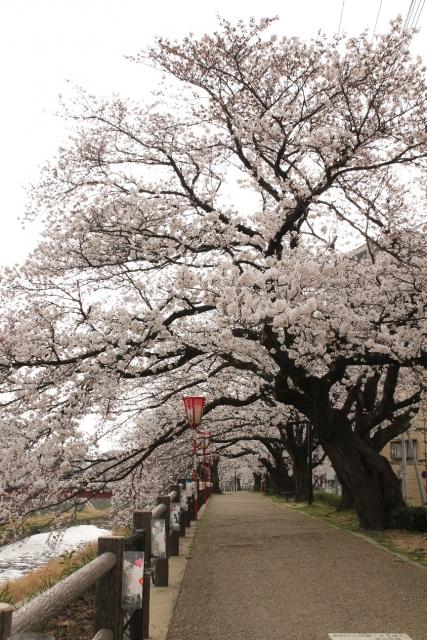 袋川桜土手